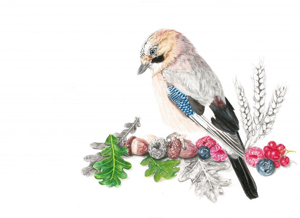 Illustration geai des chênes,  art animalier, dessin animalier oiseau, portrait animalier, animaux, botanique, illustration faune et flore