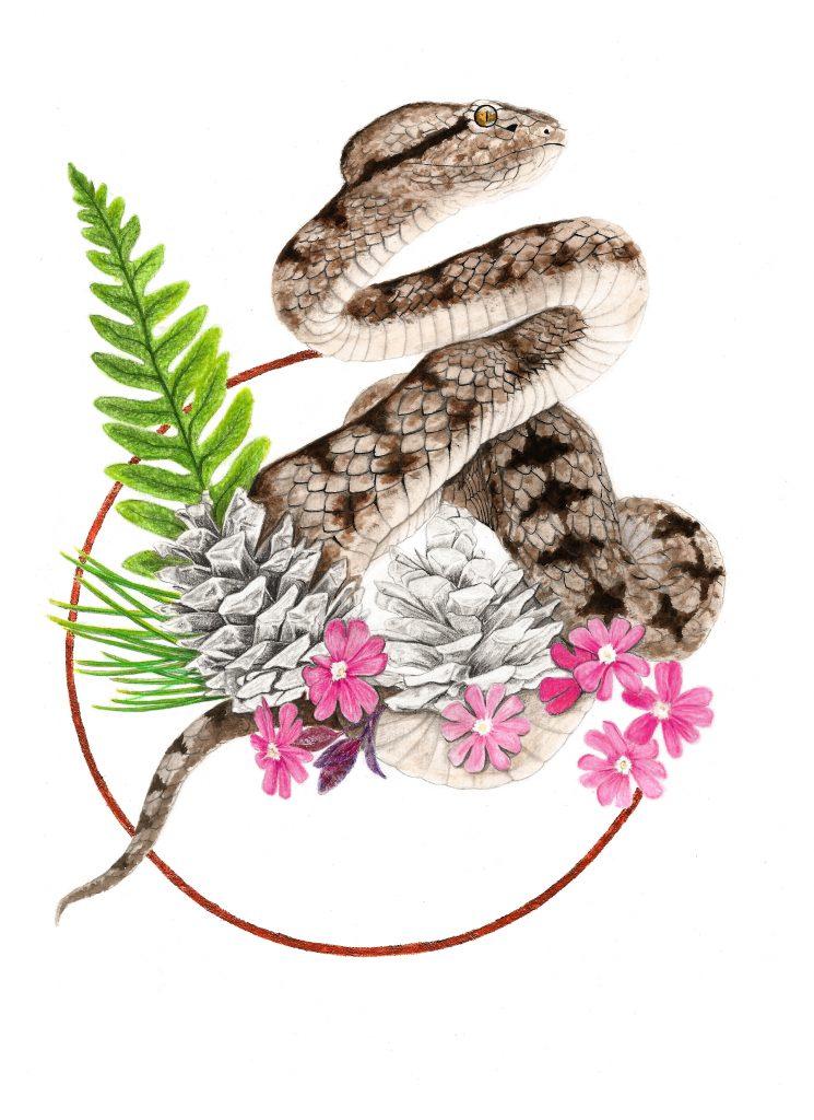 Illustration vipère aspic, art animalier, dessin herpétologique, botanique, illustration faune et flore