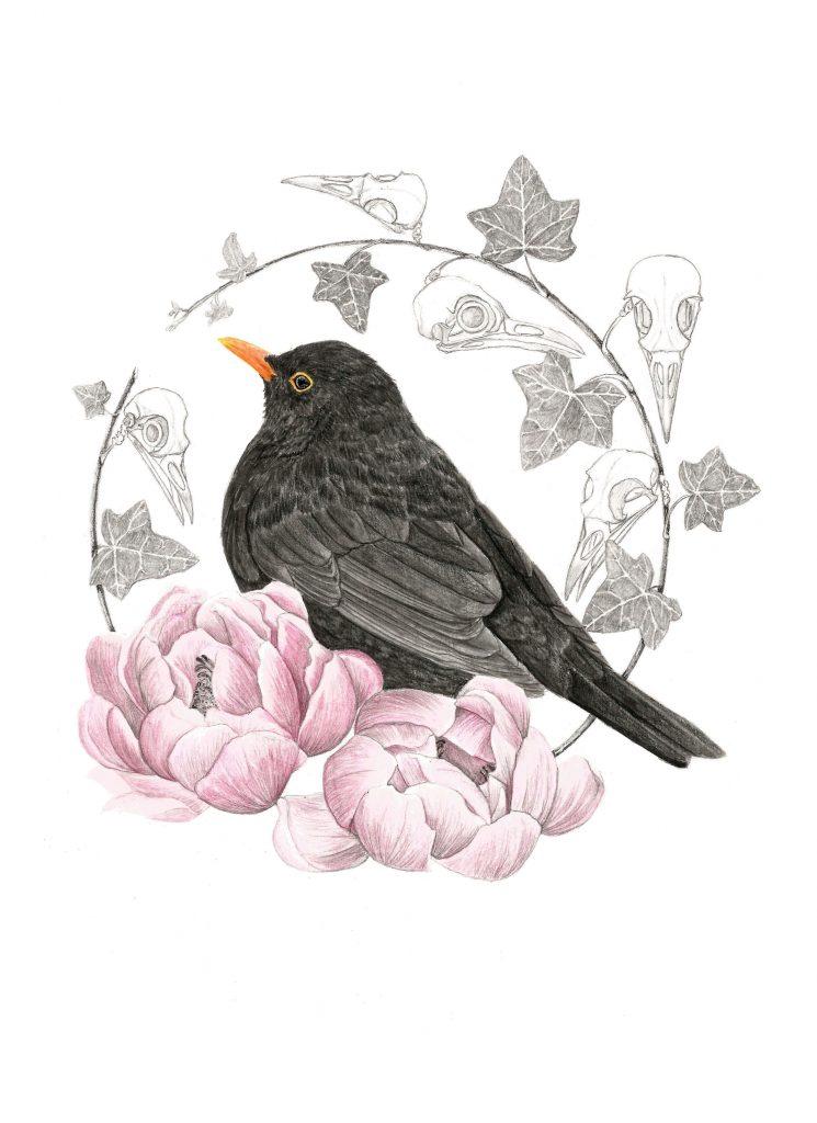 Illustration Merle noir,  art animalier, dessin animalier oiseau, portrait animalier, animaux, botanique, illustration faune et flore