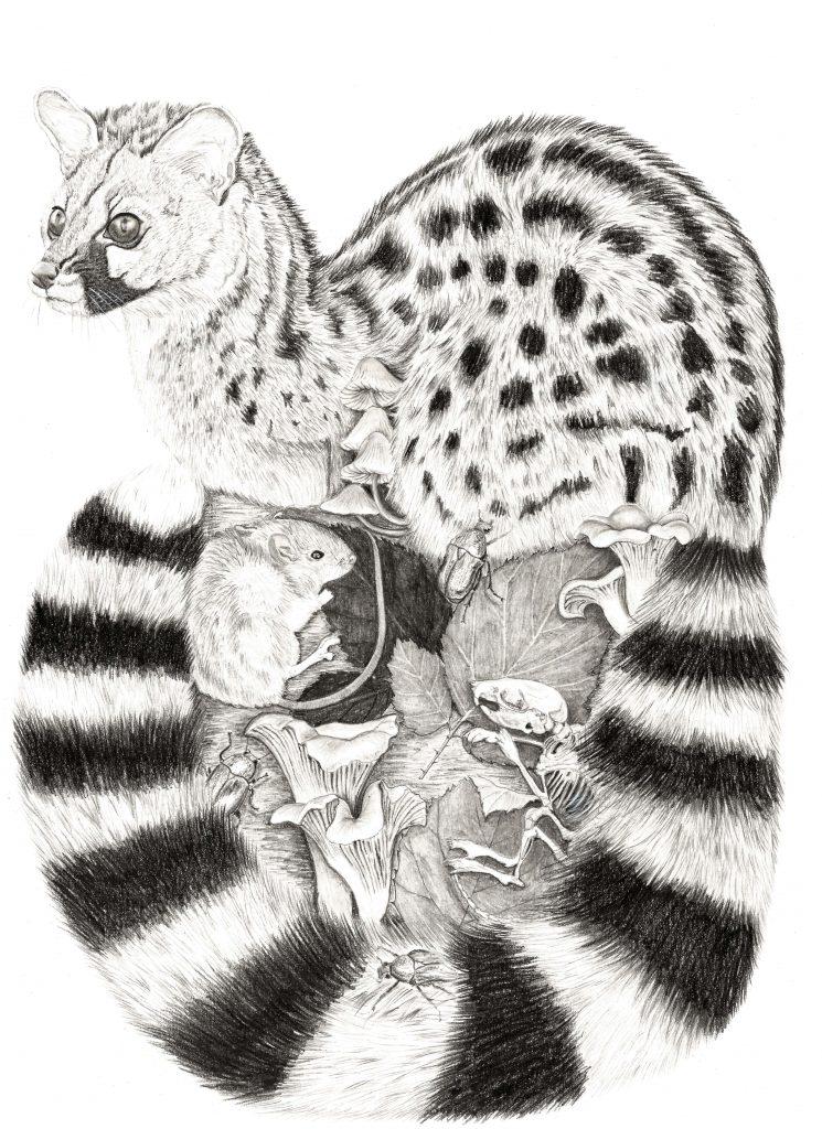 Illustration Genette,  art animalier, dessin animalier, mammifère, portrait animalier, animaux, botanique, illustration faune et flore