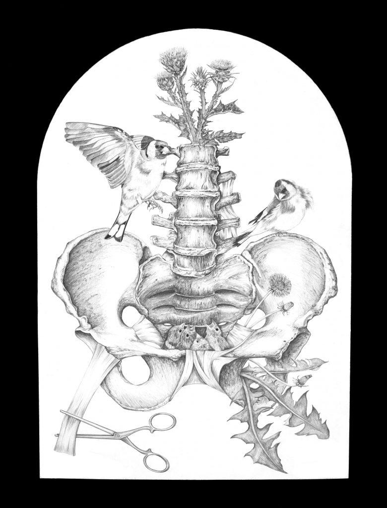 Anatomie-pelvis-chardonnerets, illustrations scientifique, illustration cabinet de curiosité, dessin vintage, squelette, dessin outil médical, chirurgical