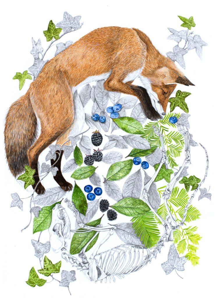 Dessin renard roux,  art animalier, dessin animalier mammifère, botanique, illustration faune et flore