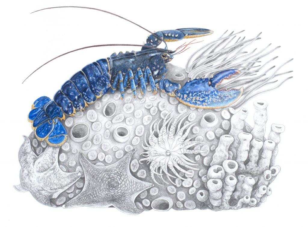 Illustration animalière Homard breton,  art animalier, dessin animalier, portrait animalier, animaux, botanique,
