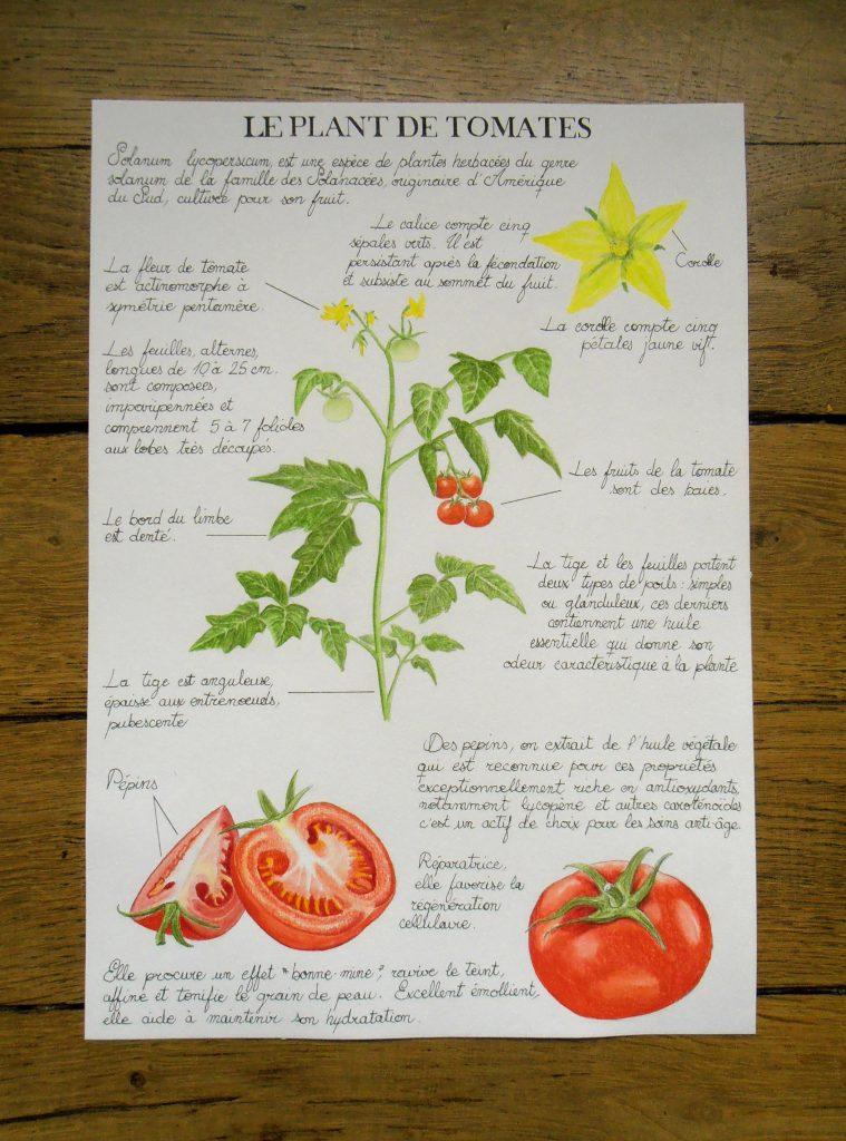Illustration étude naturaliste botanique du plant de tomates
