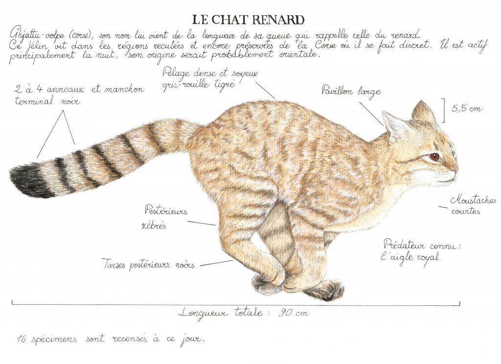 Illustration du Chat-renard ou Ghjattu-volpe, graphite et crayons de couleur.