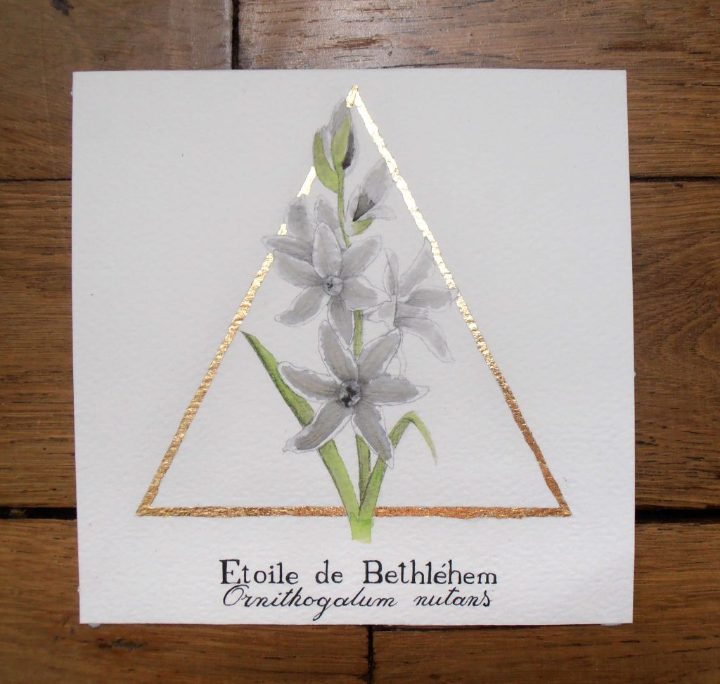 Illustration naturaliste botanique à l'aquarelle de l'étoile de Bethléhem.