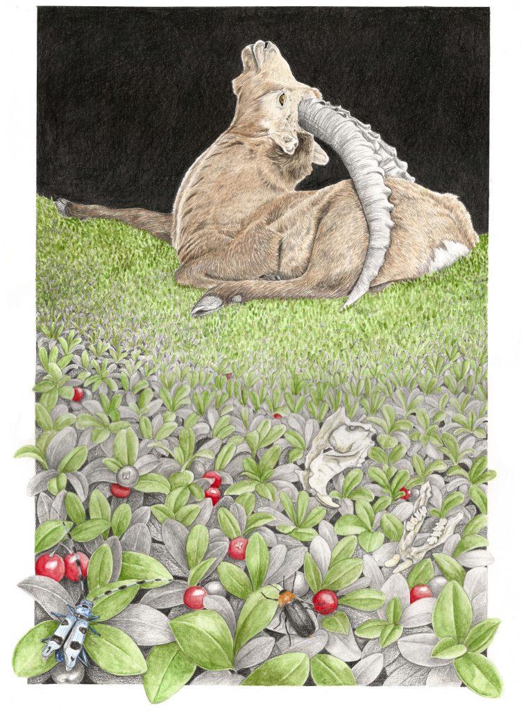 illustration naturaliste et botanique de la faune et flore des Alpes. Bouquetin des Alpes, busserole, insectes.