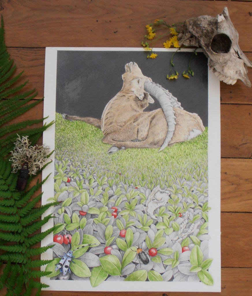 Illustration d'inspiration naturaliste et botanique. Faune et flore des Alpes. Bouquetin des Alpes.