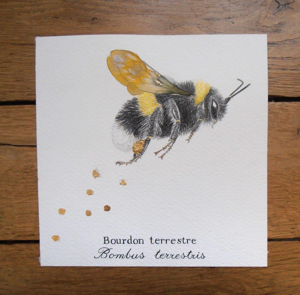 Illustration naturaliste entomologique du bourdon terrestre