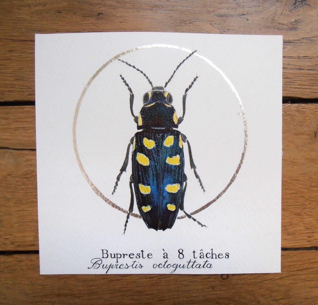 Illustration naturaliste entomologique du bupreste à 8 tâches.