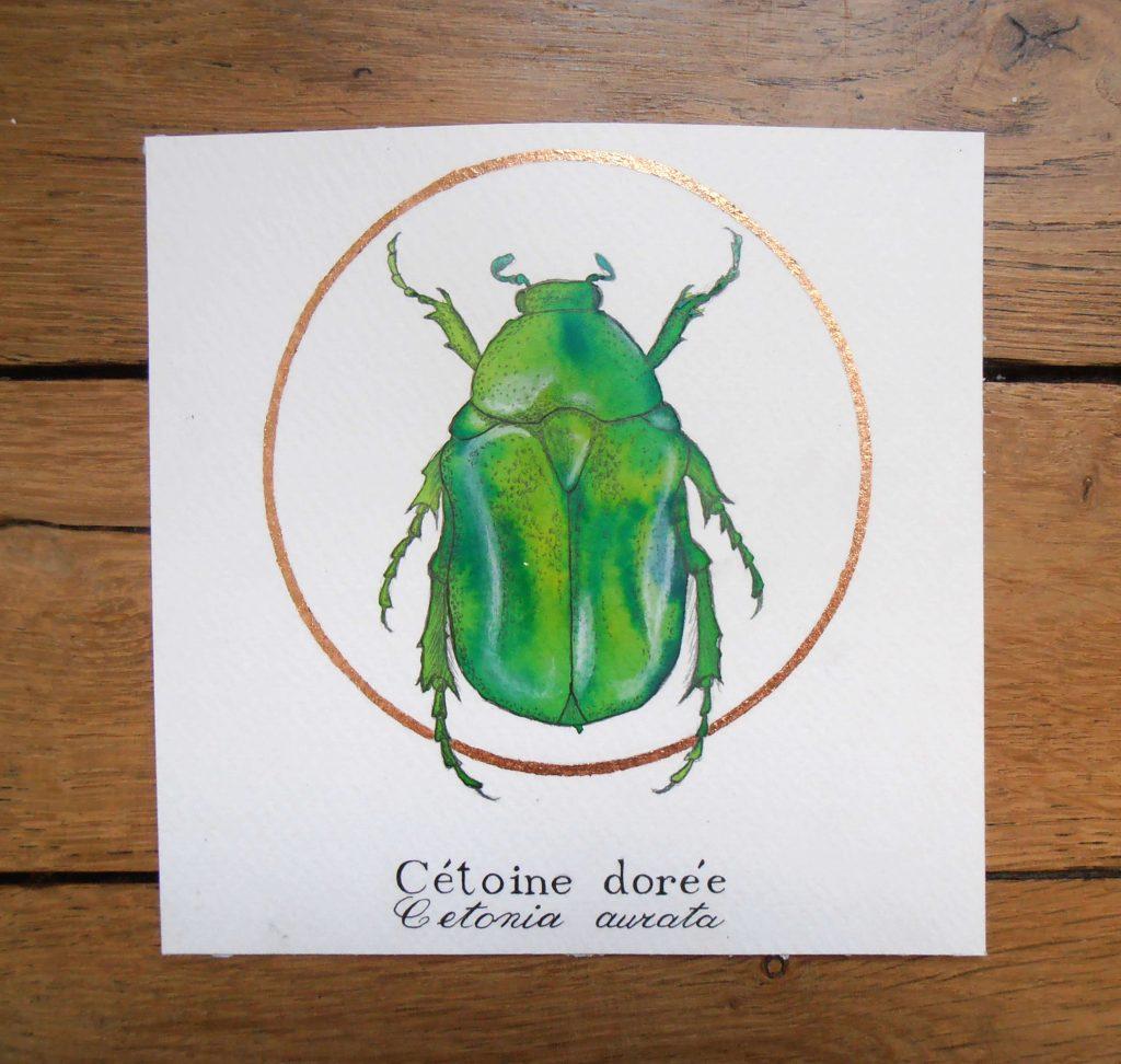 Illustration naturaliste entomologique de la cétoine dorée.