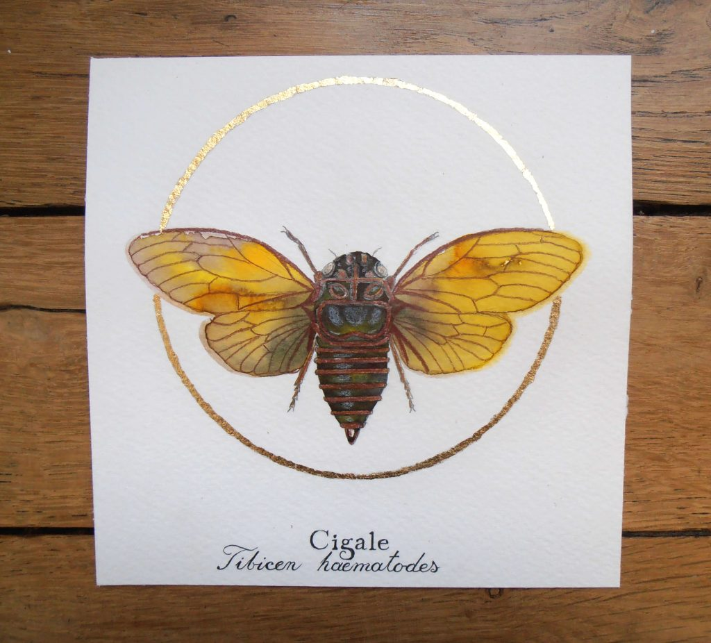 Illustration naturaliste entomologique de la cigale.