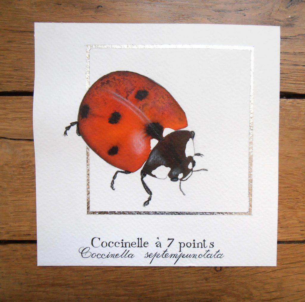 Illustration naturaliste entomologique de la coccinelle.