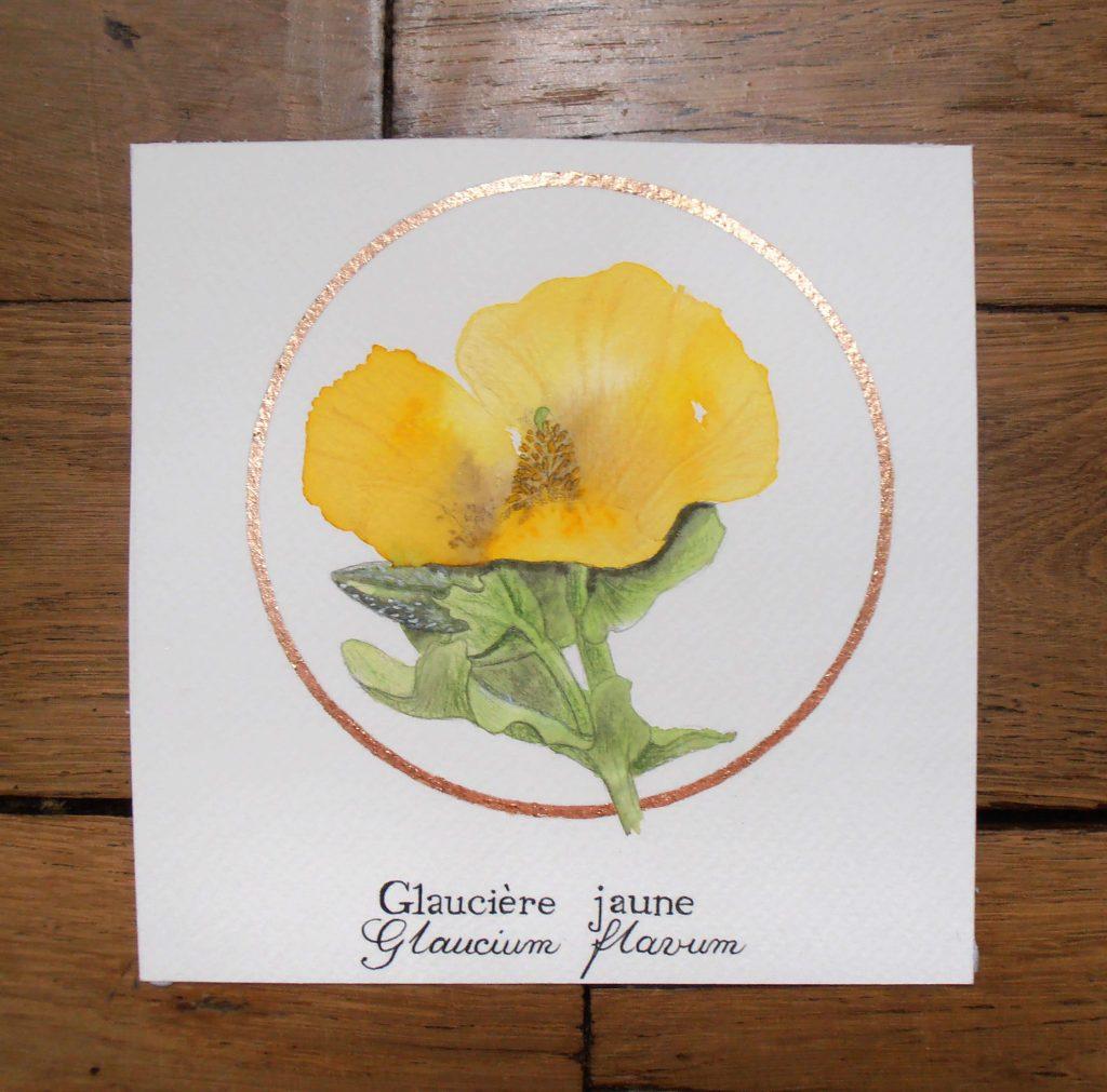 Illustration naturaliste botanique à l'aquarelle de la glaucière jaune