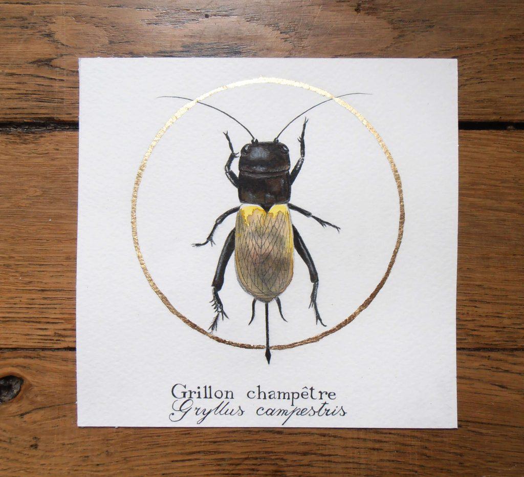 Illustration naturaliste entomologique du grillon champêtre.