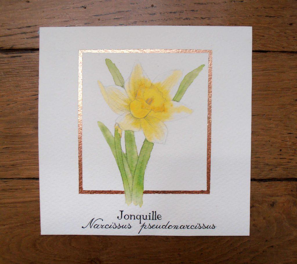 Illustration naturaliste botanique à l'aquarelle de la jonquille