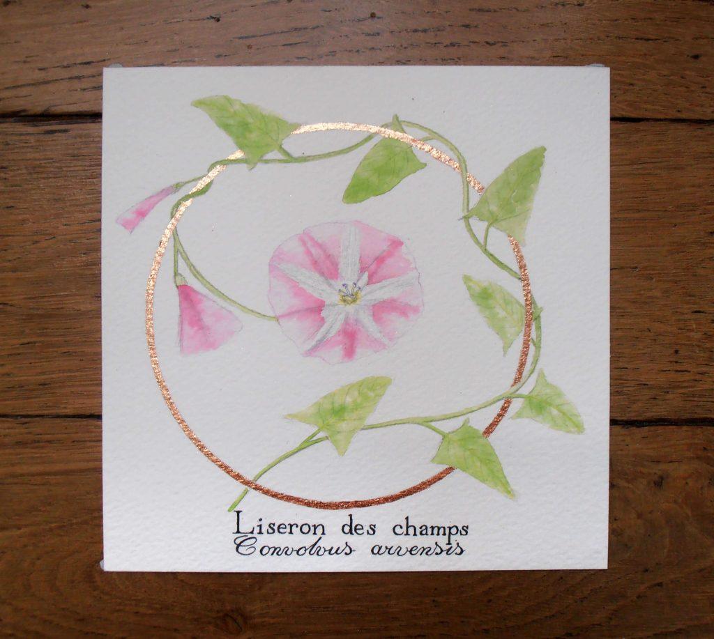 Illustration naturaliste botanique à l'aquarelle, liseron des champs