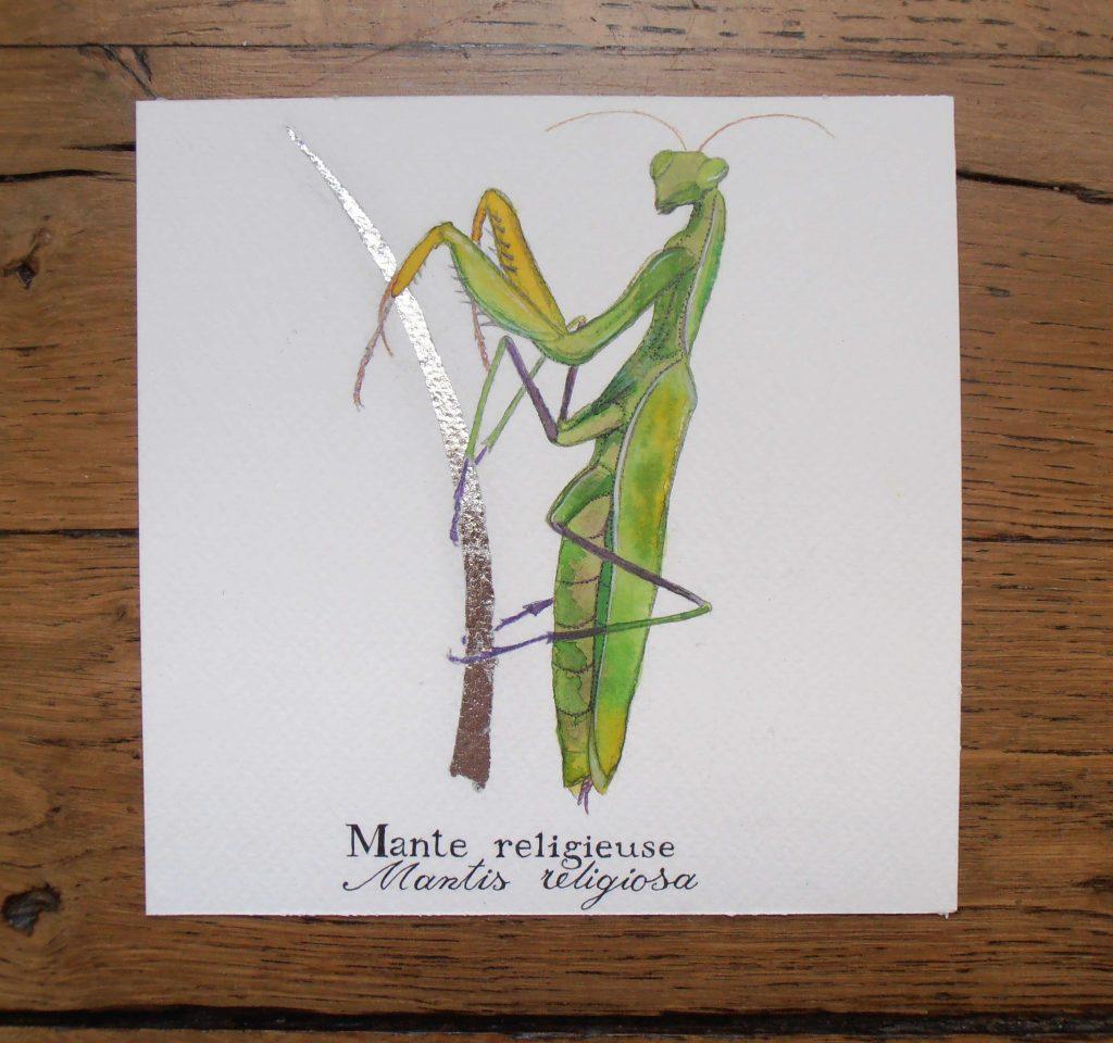 Illustration naturaliste entomologique de la mante religieuse.