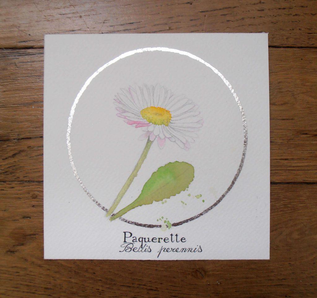 Illustration naturaliste botanique à l'aquarelle, pâquerette