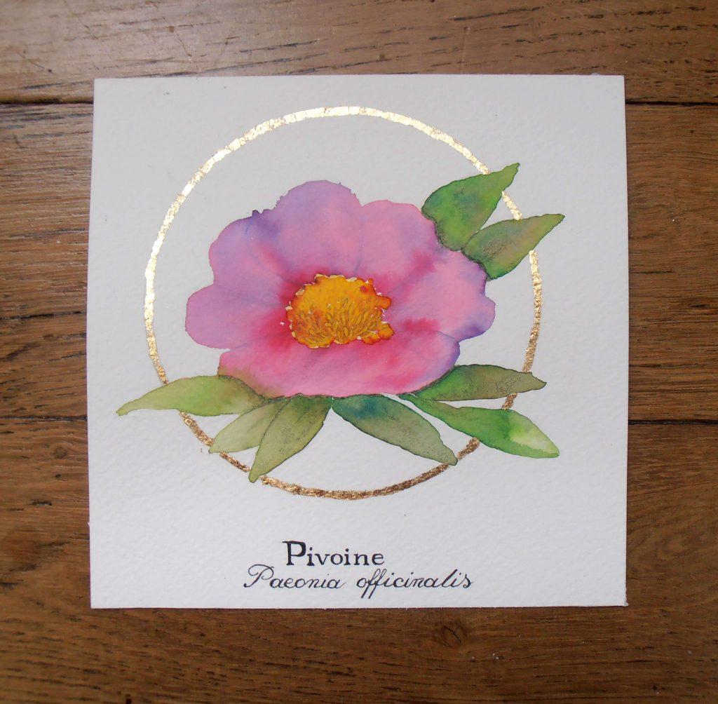 Illustration naturaliste botanique à l'aquarelle, pivoine