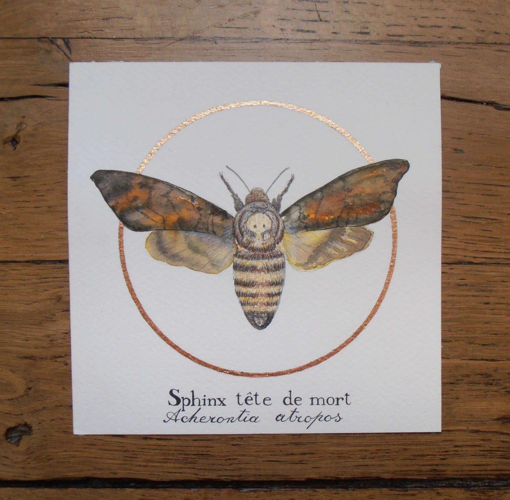 Illustration naturaliste entomologique du papillon sphinx tête de mort.