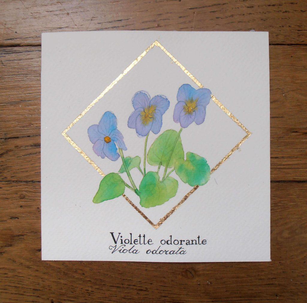 Illustration naturaliste botanique à l'aquarelle, violette odorante