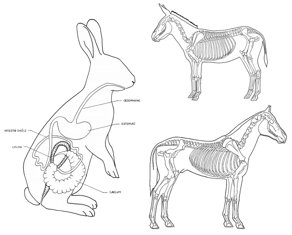 Illustration anatomique, squelette âne, squelette cheval, tube digestif lapin, dessin au trait, illustration scientifique. Mouvement de l'agriculture bio dynamique