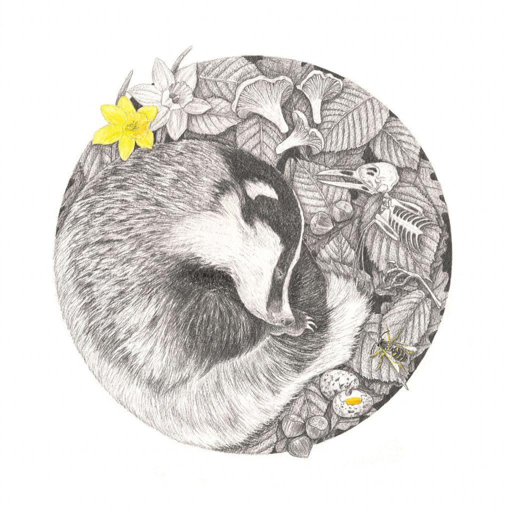animaux endormis, illustration animaux sauvages, blaireau européen, illustrations naturaliste et botanique