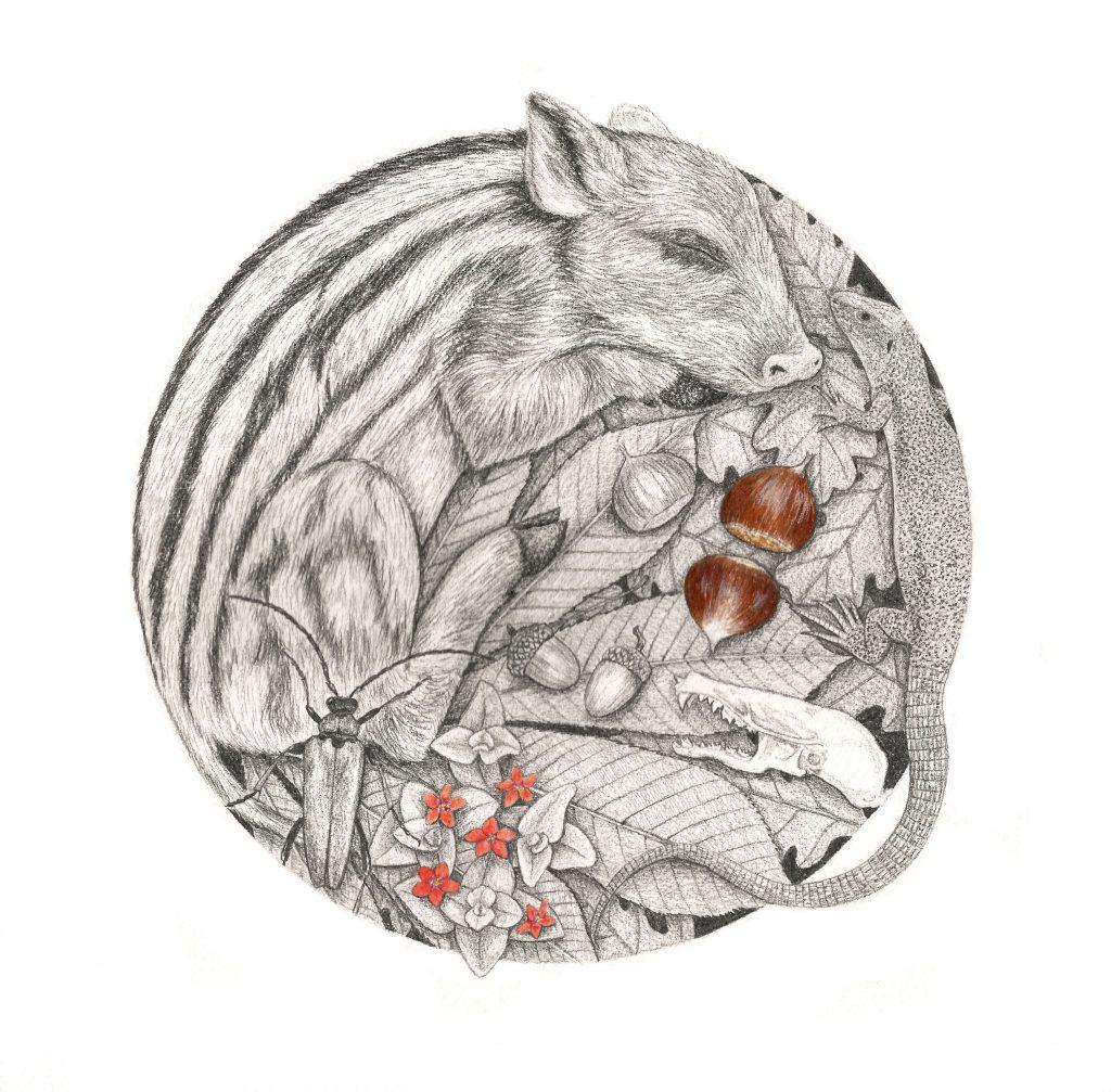 Illustration marcassin, série animaux endormis, dessin naturaliste, art animalier, dessin contemporain, faune et flore d'Europe, botanique,