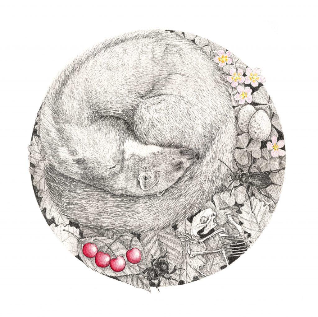 Illustration martre des pins, série animaux endormis, dessin naturaliste, art animalier, dessin contemporain, faune et flore d'Europe, botanique, entomologique, nature