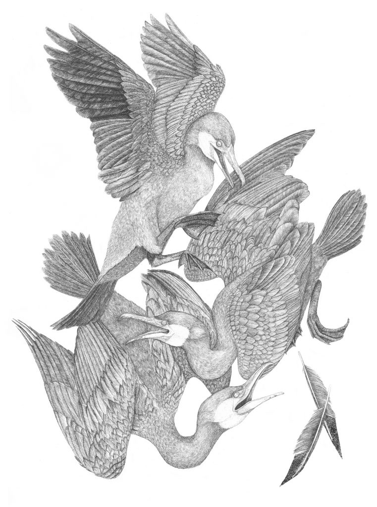les oiseaux du lac de stymphale, cormoran, illustration, art animalier, dessin contemporain, graphite, mythologie
