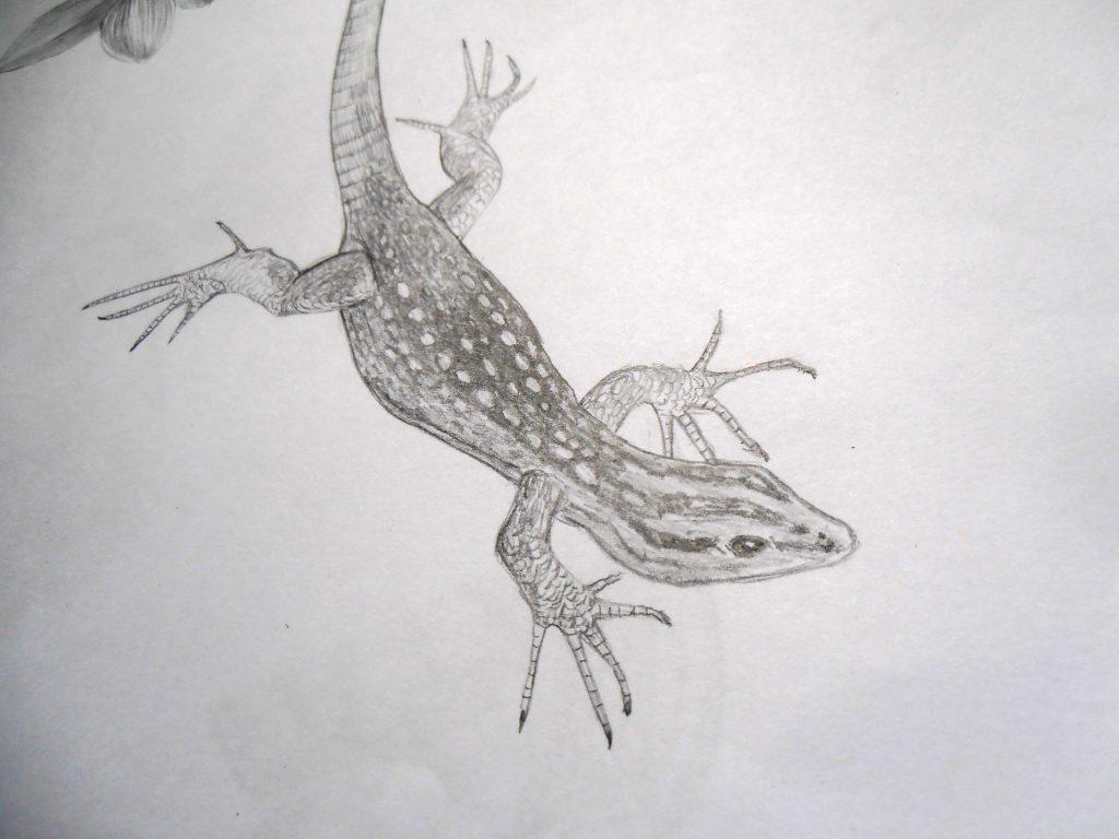 Illustration naturaliste, lézard endémique de Namibie, Platysaurus Attenboroughi, dessin