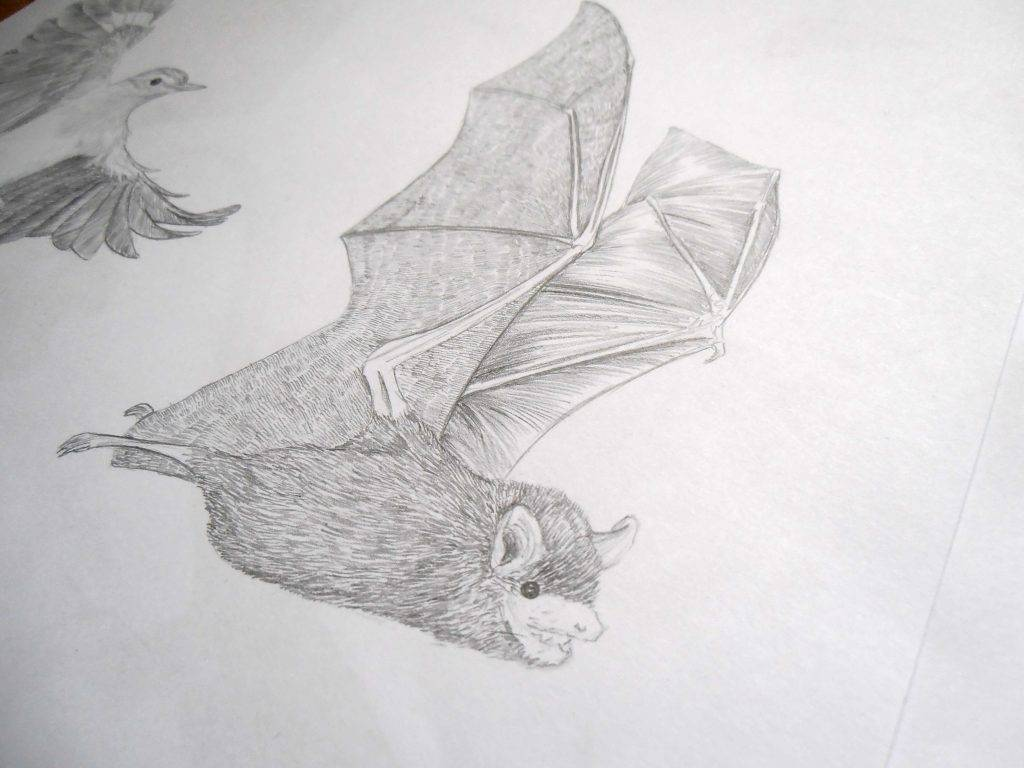 Illustration naturaliste, Myotis Attenboroughi, murin, chauve-souris, David Attenborough, dessin