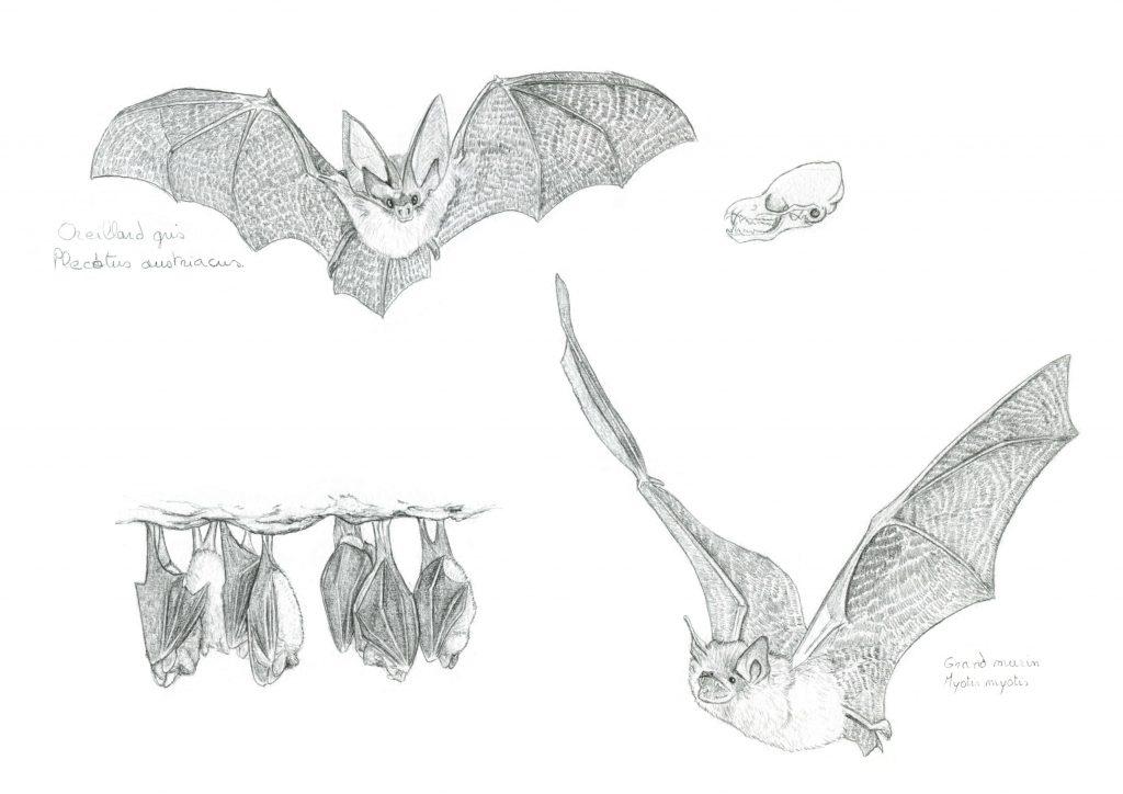 illustration naturaliste, dessin animalier, illustration scientifique, chauve-souris, oreillard gris, grand murin, animal