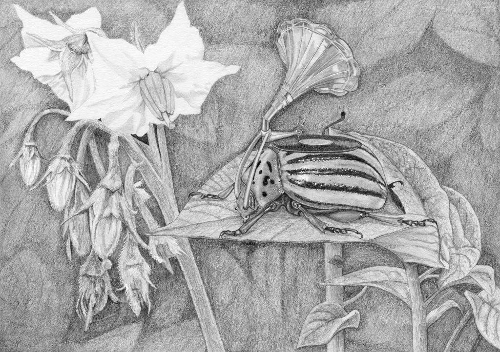 dessin contemporain, entomologie, illustration, graphite, insecte hybride, doryphore, phonographe, fleur de pomme de terre, patate