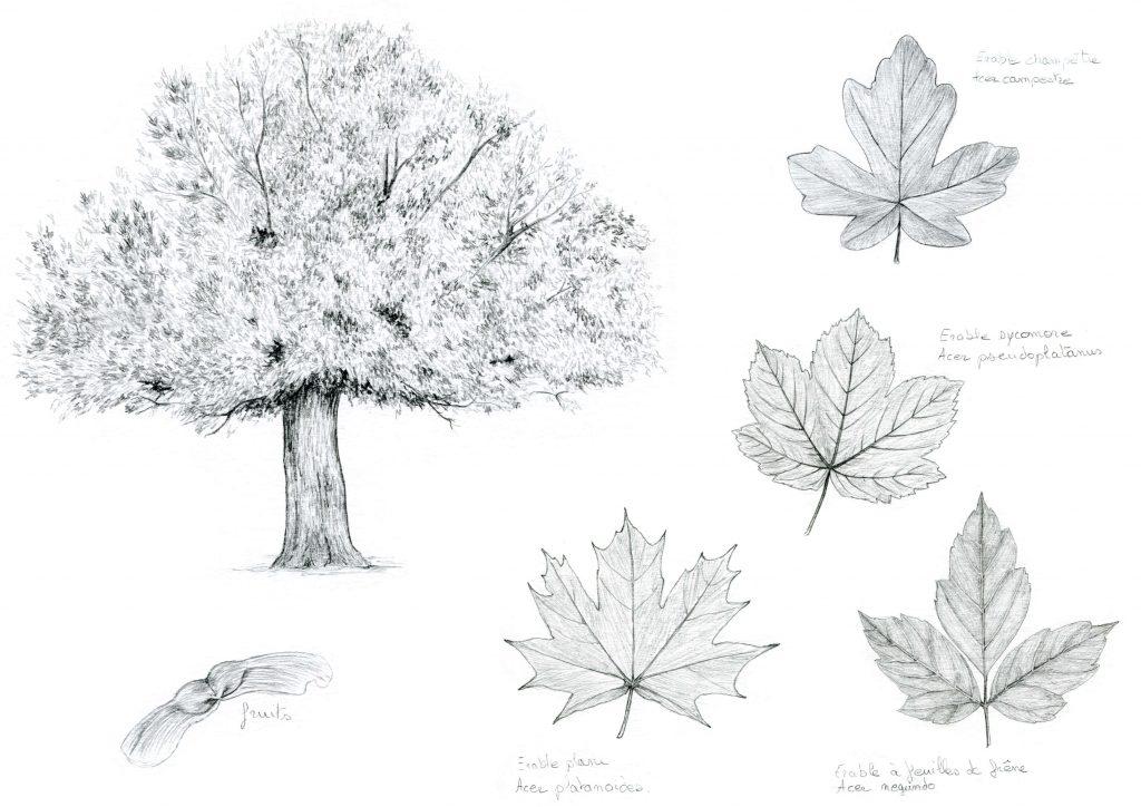 illustration botanique, naturaliste, arbre, érables, dessin naturalistes