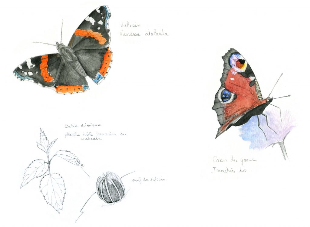 illustration entomologie, papillons, dessin entomologique, illustration insecte, illustration scientifique