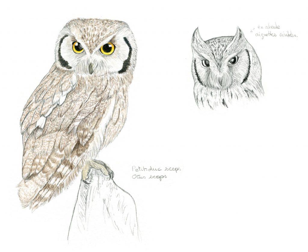 Illustration animalière, illustration naturaliste, petit-duc scops,, dessin animalier oiseau, portrait animalier, animaux, illustration faune et flore