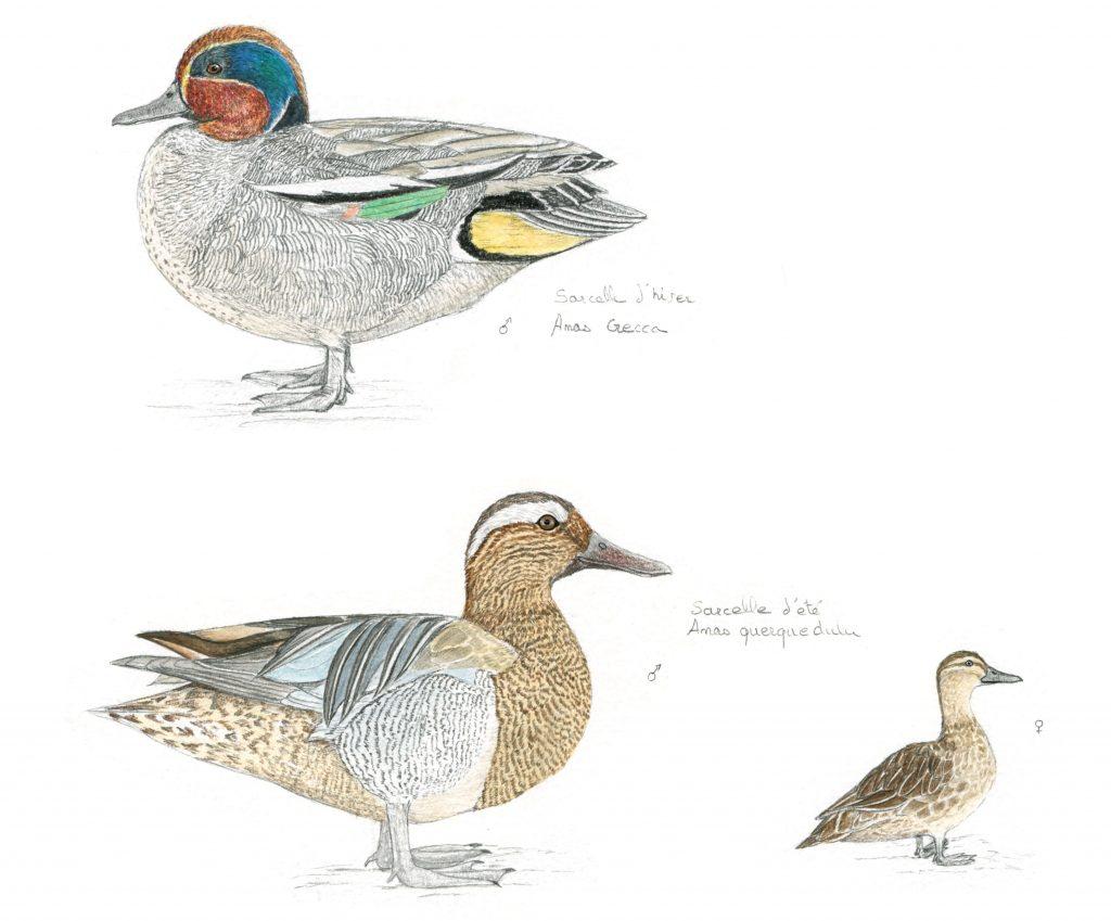 illustration naturaliste, animalière, étude canards, sarcelles, dessin scientifique
