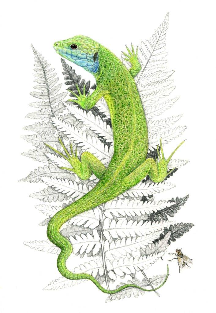 Illustration lézard à 2 raies, art animalier, dessin animalier, portrait animalier, animaux, botanique,