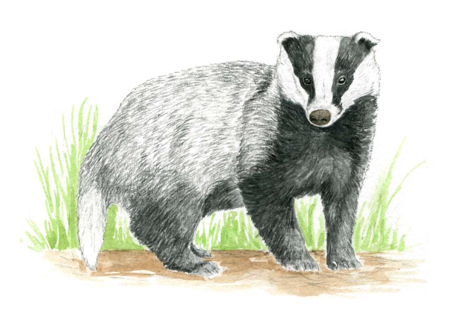 illustration blaireau, dessin naturaliste, illustration animaux sylvestres, Alicia Pénicaud Illustrations pour Pronatura, illustrations Pro Natura