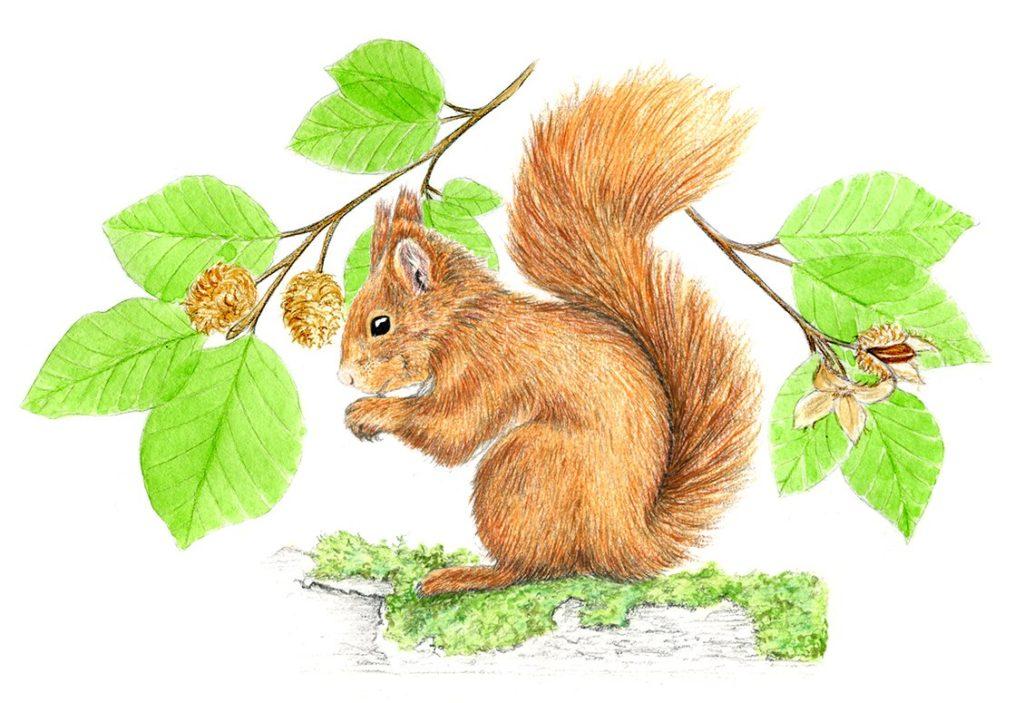 illustration écureuil, dessin naturaliste, illustration animaux sylvestres, Alicia Pénicaud Illustrations pour Pronatura, illustrations Pro Natura