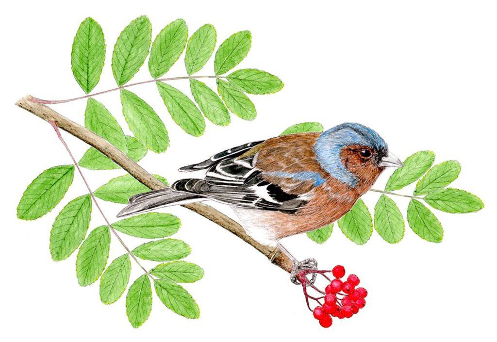 illustration pinson des arbres, dessin naturaliste, illustration animaux sylvestres, Alicia Pénicaud Illustrations, illustrations Pro Natura