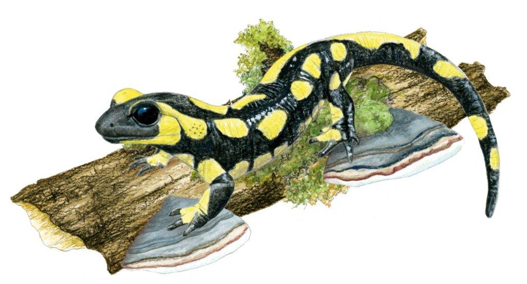 illustration blaireau, dessin naturaliste, illustration animaux sylvestres, Alicia Pénicaud Illustrations, illustrations Pronatura