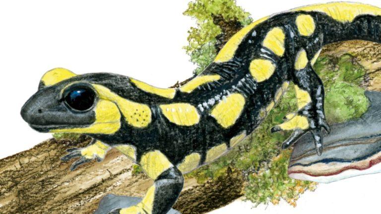 illustration salamandre pro natura, Alicia Pénicaud Illustrations