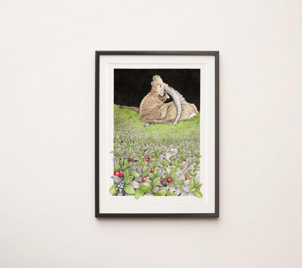 Illustration originale Alicia Pénicaud bouquetin des Alpes, illustration naturaliste et botanique, dessin bouquetin des Alpes, Alicia Pénicaud Illustrations, reproduction d'art encadrement