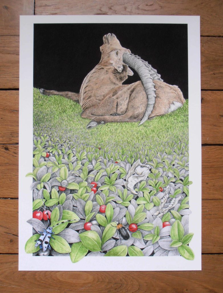 Illustration originale Alicia Pénicaud bouquetin des Alpes, illustration naturaliste et botanique, dessin bouquetin des Alpes, Alicia Pénicaud Illustrations, illustration rosalie des Alpes, busseroles, reproduction d'art