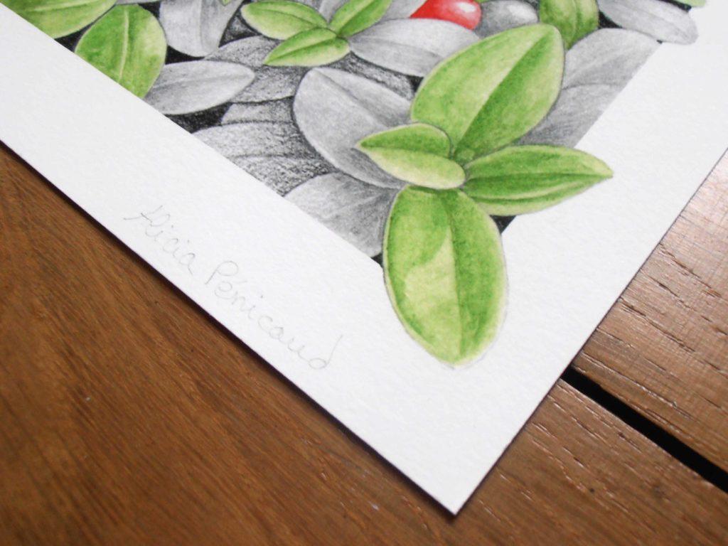 Illustration originale Alicia Pénicaud bouquetin des Alpes, illustration naturaliste et botanique, Alicia Pénicaud Illustrations, illustration  busseroles, reproduction d'art
