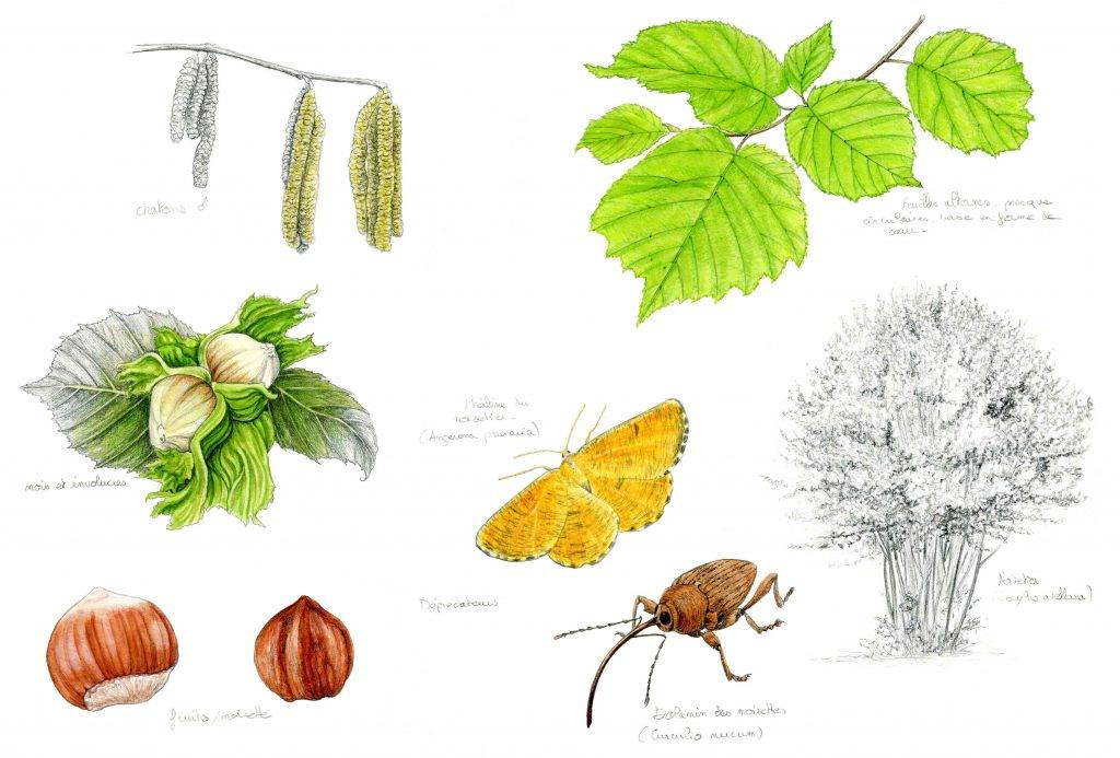 Illustration originale Alicia Pénicaud, illustration naturaliste, illustration botanique, illustration entomologique, illustration noisetier, illustration corylus avellana, illustratrice naturaliste, Alicia Pénicaud Illustrations