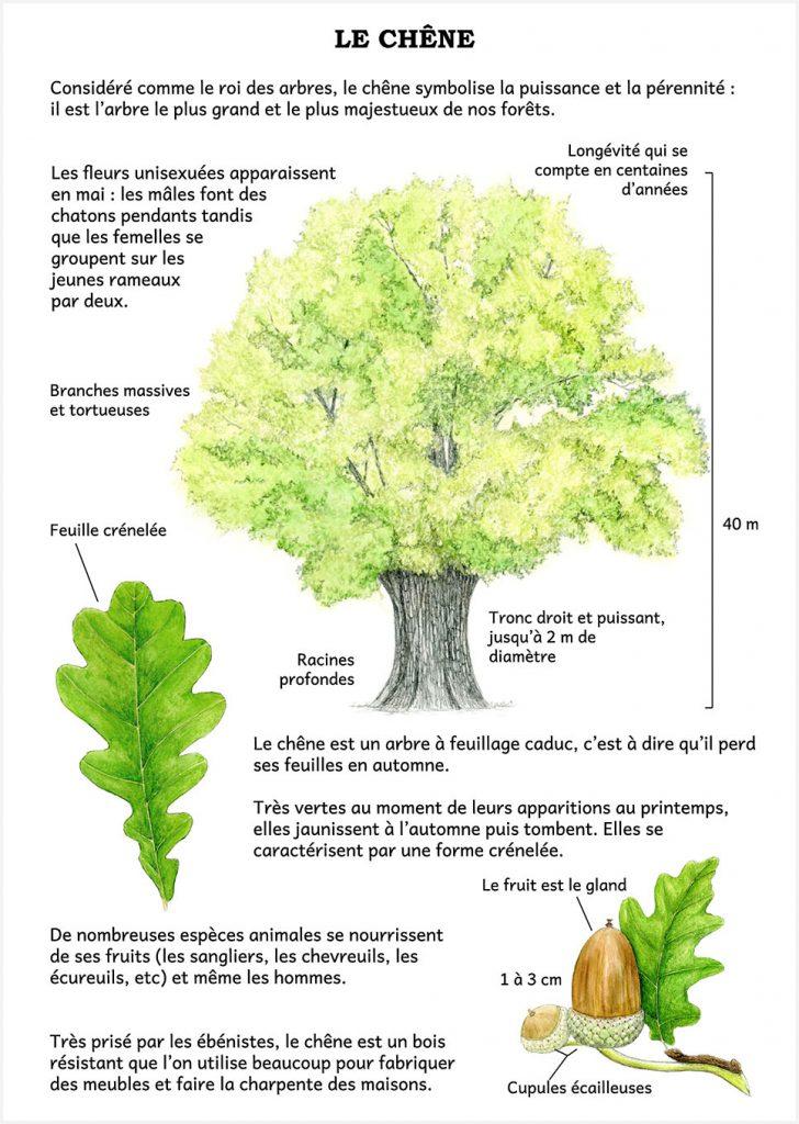 illustration originale Alicia Pénicaud, panneau signalétique illustration naturaliste, planche naturaliste le chêne, commande d'illustrations